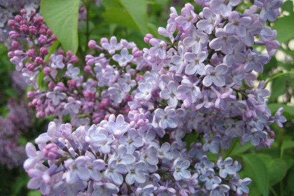 Stockholm-lilac